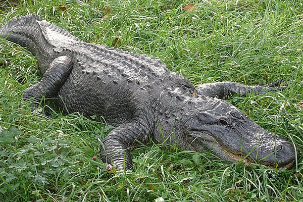 4 - Alligator