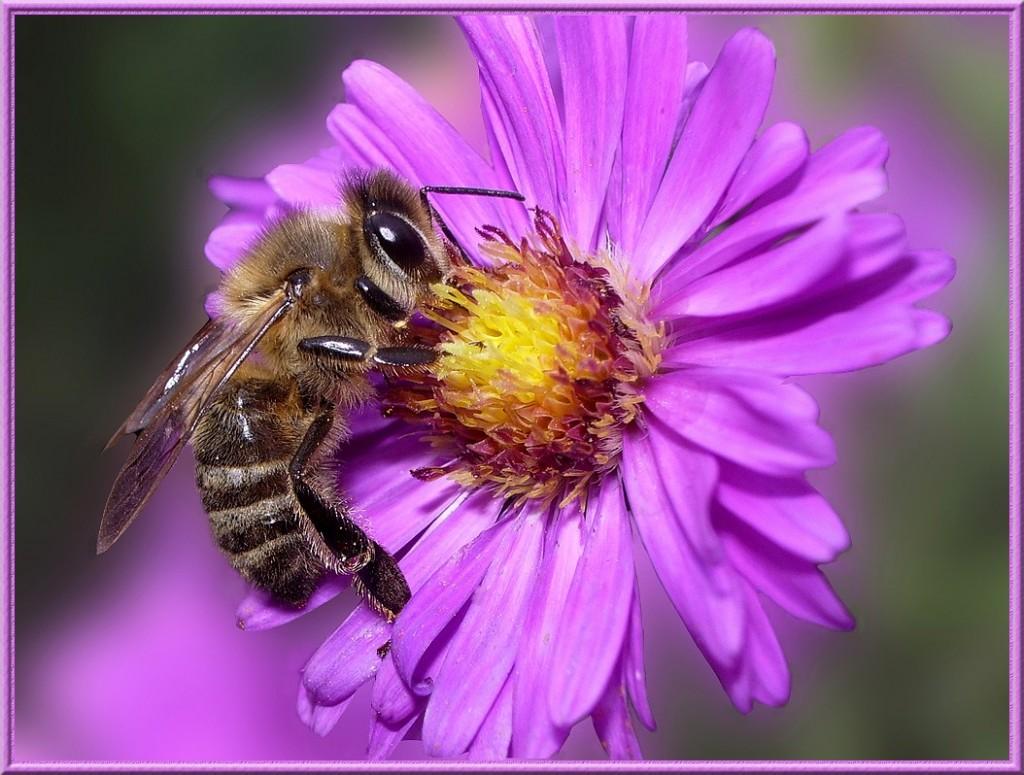 8 - abeille-sur-fleur-daster