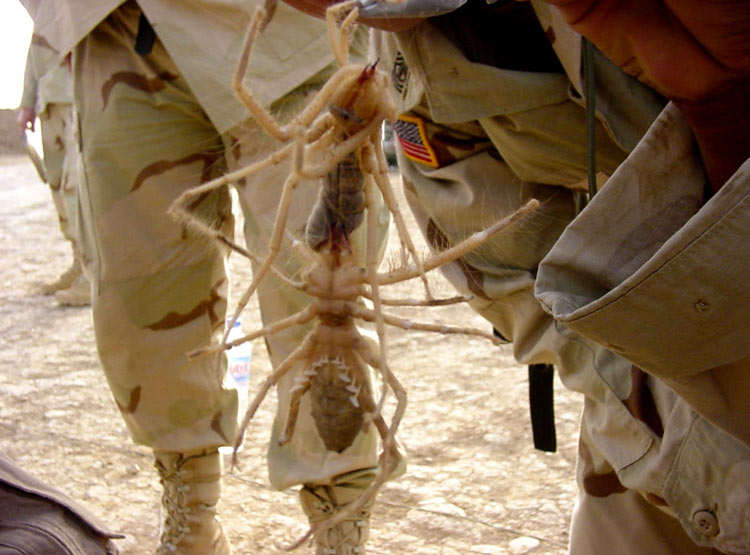 labananequiparle-insecte-geant--camel-spider-4