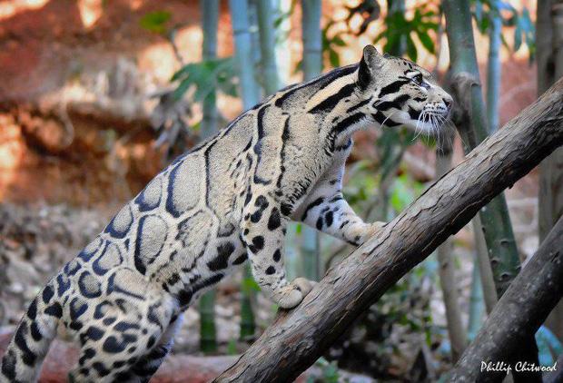 labananequiparle-panthere-nebuleuse