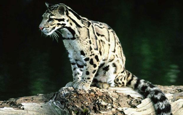 labananequiparle-panthere-nebuleuse5