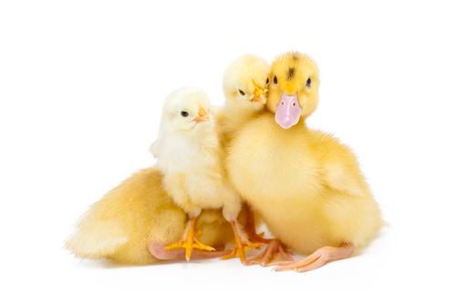 labananequiparle-poulet canard