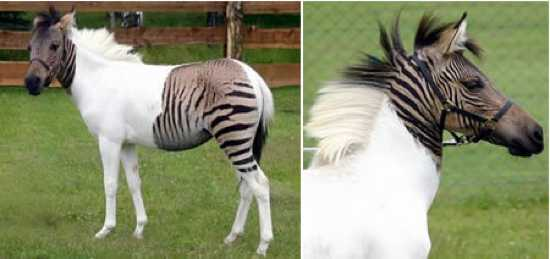1 - zebroid-labananequiparle