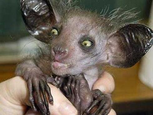 3.animaux-moche-lémurien-aye-aye-labananequiparle