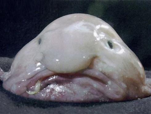 4.-animaux-moche-le-blob-fisgh-labananequiparle