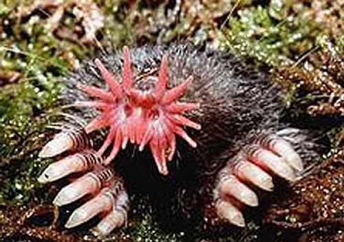 5.-animaux-moche-Taupe-à-nez-étoilé-labananequiparle