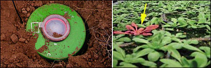 labananequiparle-landmine detecting plants-2