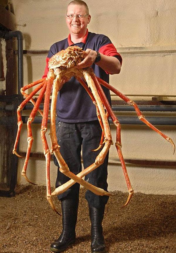 labananequiparle-Araignée de mer japonaise
