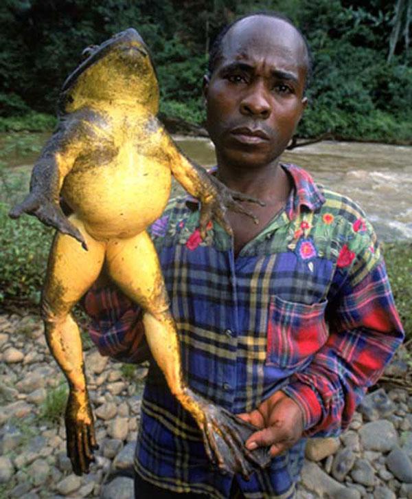 labananequiparle-Grenouille goliath africaine (anecdote - elle est capable de sauter jusqu'à 3 mètres de haut)