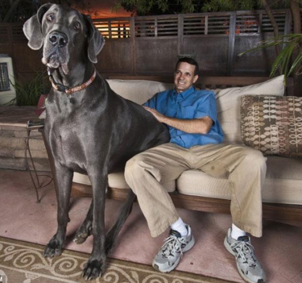 labananequiparle-Le Dogue allemand Giant George - le chien le plus grand du monde (1m10 au garrot, 2 mètres de long pour 111 kilos)