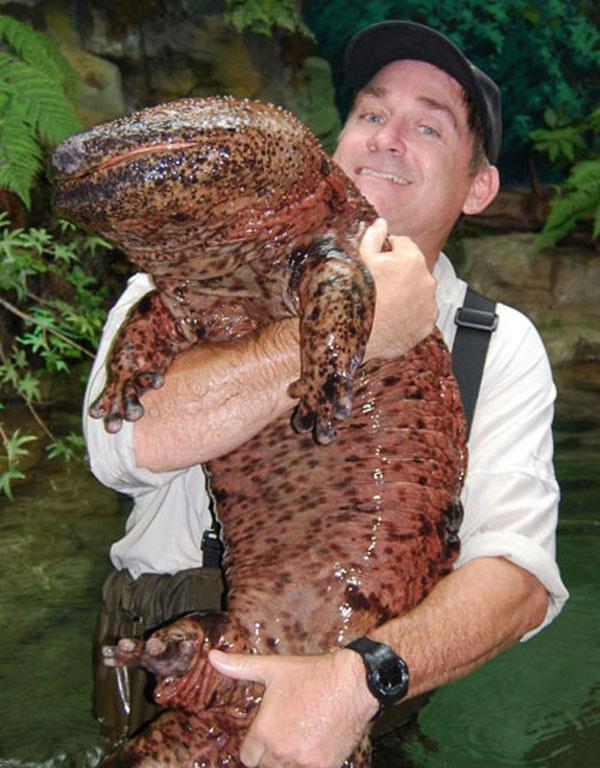 labananequiparle-Salamandre géante de Chine