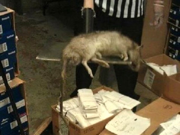 labananequiparle-Un rat géant trouvé (et tué) dans un Foot Locker