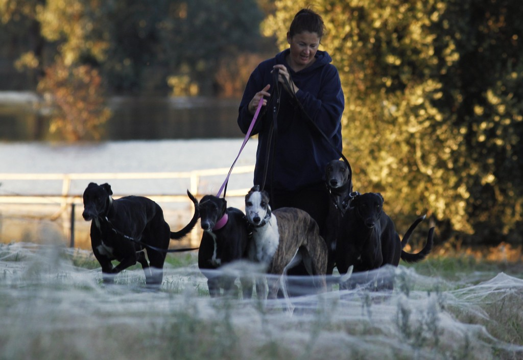 A woman walks her dogs through spiderwebs, formed as spiders escape from flood waters, in Wagga Wagga
