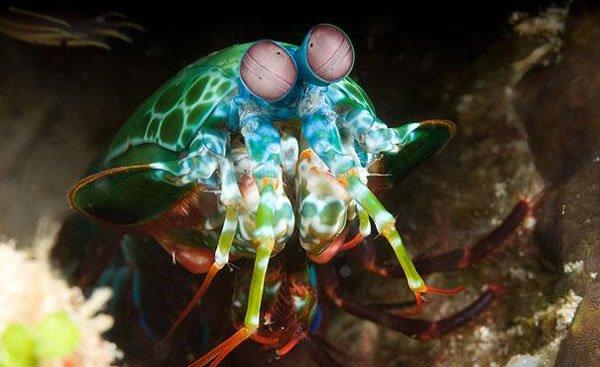 labananequiparle-Crevette-Mantis