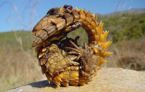 labananequiparle-Dragon-épineux
