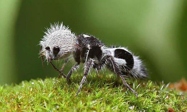 labananequiparle-La-fourmi-panda