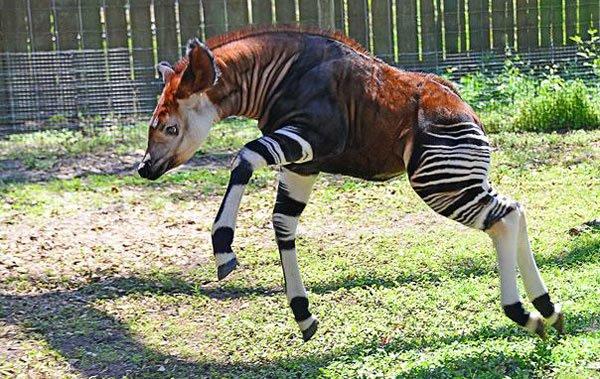 labananequiparle-Okapi