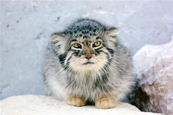 labananequiparle-le-chat-pallas-originaire-des-steppes-montagneuses-d-asie-centrale-est-un-habitue-des-temperatures