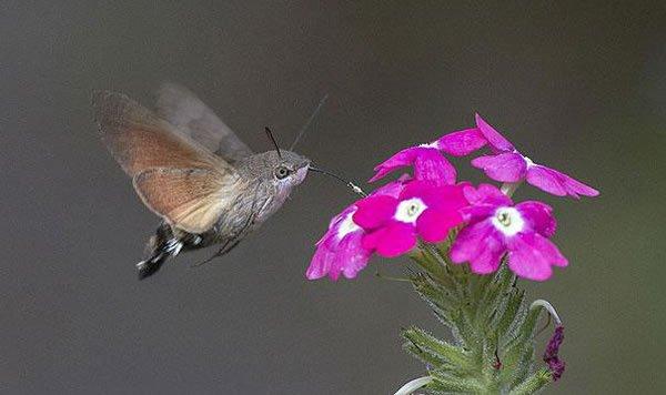 labananequiparle-oiseau-mouche-faucon-papillon-de-nuit