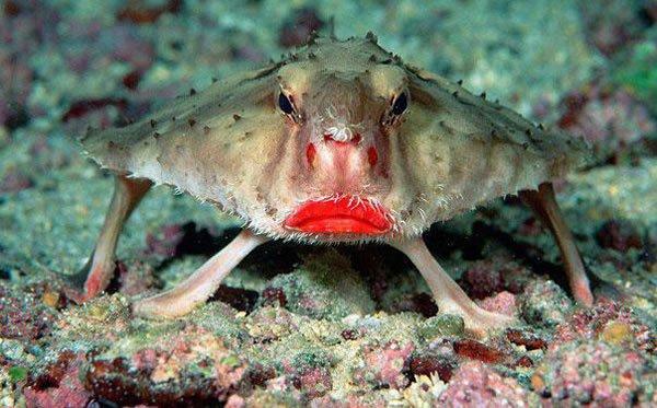 labananequiparle-poisson-chauve-souris-aux-lèvres-rouges