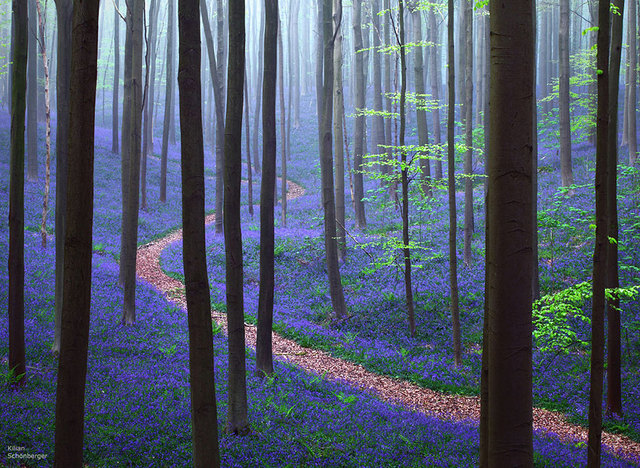 Labananequiparle-La forêt de Halle- Belgique