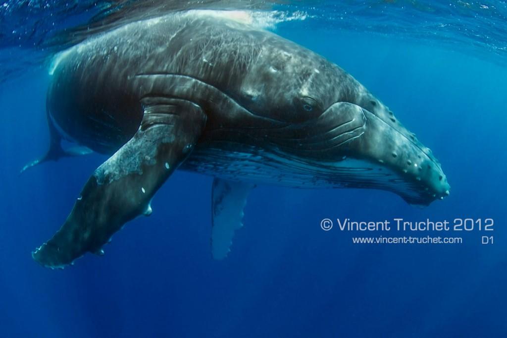 labananequiparle-vincent-truchet-baleine-a-bosse