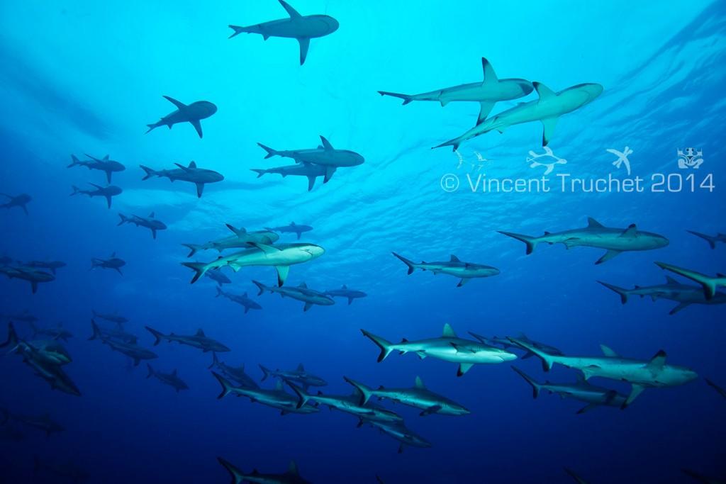 labananequiparle-vincent-truchet-banc-requins-gris