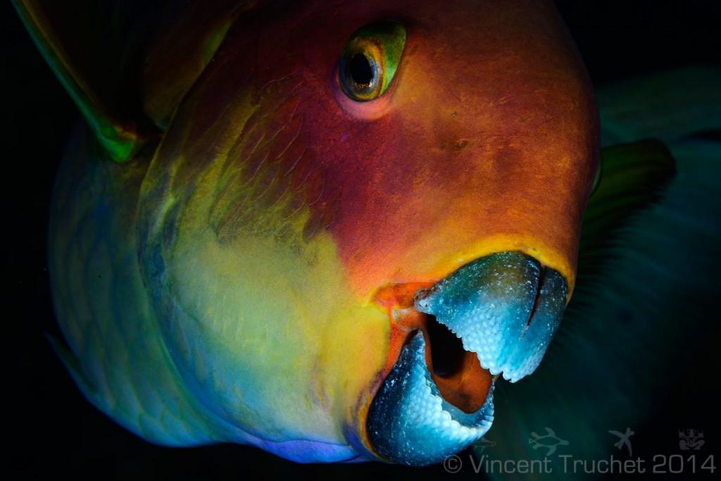 labananequiparle-vincent-truchet-beau-poisson-perroquet