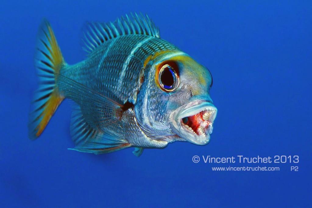 labananequiparle-vincent-truchet-daurade-tropicale-juvenile