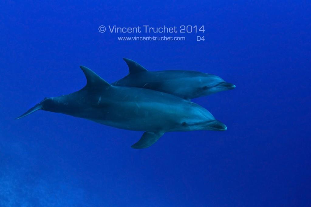 labananequiparle-vincent-truchet-deux-dauphins