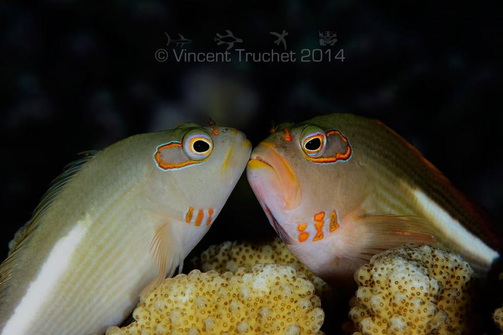 labananequiparle-vincent-truchet-deux-poissons-faucons