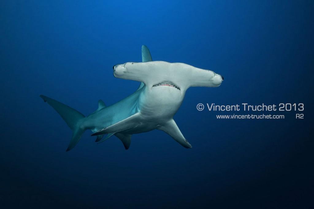 labananequiparle-vincent-truchet-grand-requin-marteau