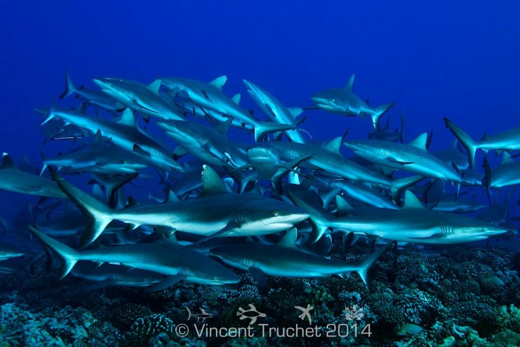 labananequiparle-vincent-truchet-groupe-de-requins