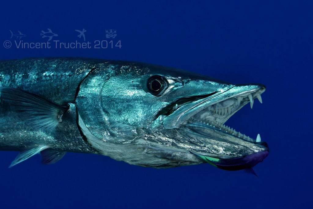 labananequiparle-vincent-truchet-gueule-grand-barracuda