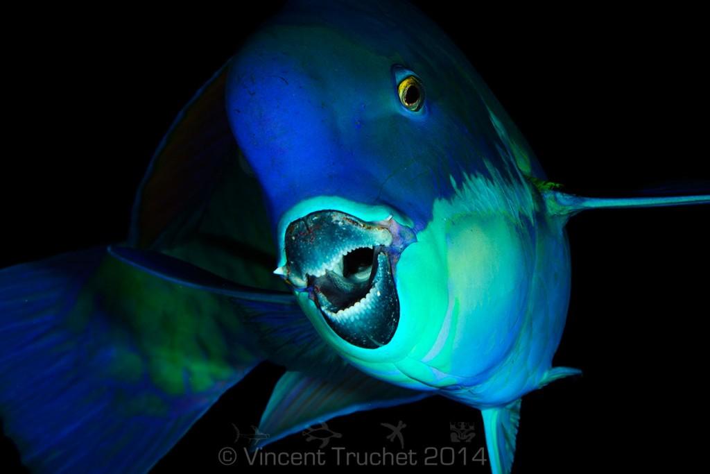 labananequiparle-vincent-truchet-magnifique-poisson-perroquet
