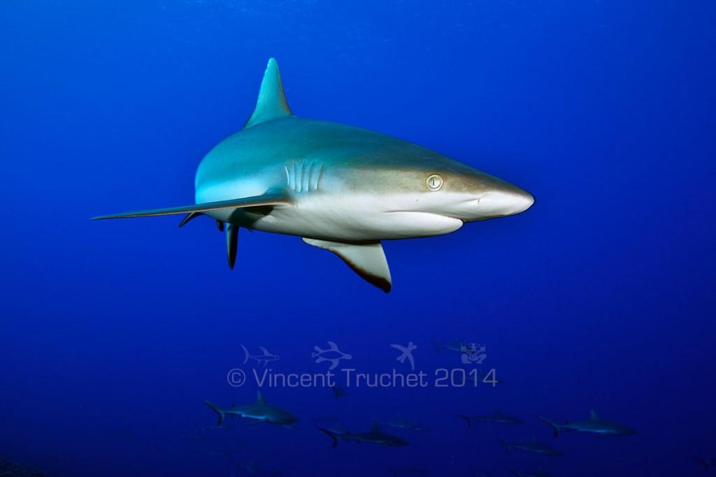 labananequiparle-vincent-truchet-oeil-requin-gris