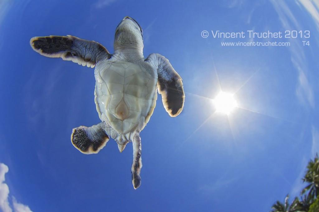 labananequiparle-vincent-truchet-petite-tortue-verte-vue-de-dessous