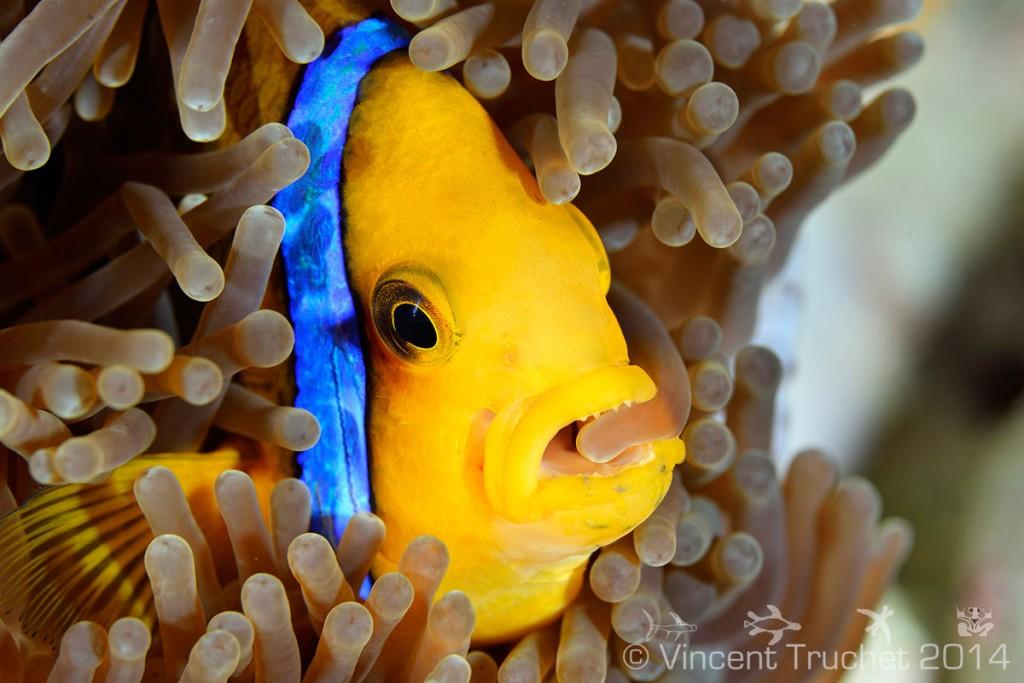 labananequiparle-vincent-truchet-poisson-clown-dans-anemone-de-mer