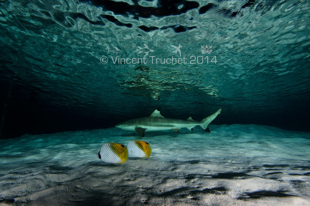 labananequiparle-vincent-truchet-poisson-exotiques-et-requin