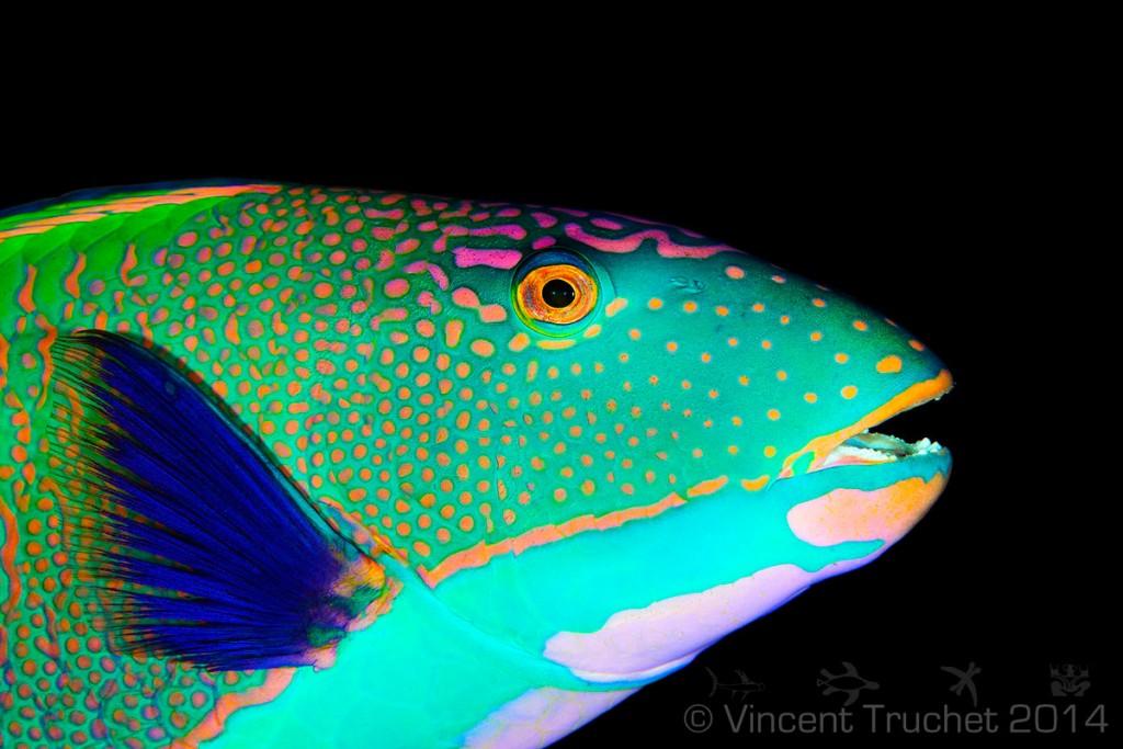 labananequiparle-vincent-truchet-poisson-perroquet