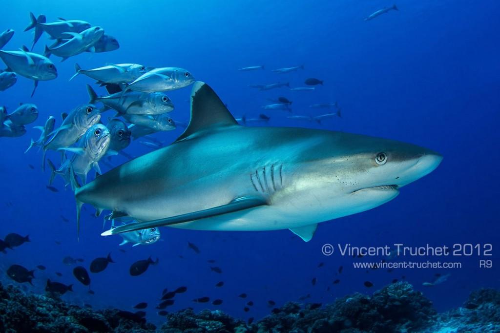 labananequiparle-vincent-truchet-requin-ailerons-blancs-recif-suivi-par-poissons