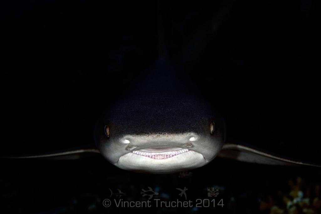 labananequiparle-vincent-truchet-requin-corail-face-proche