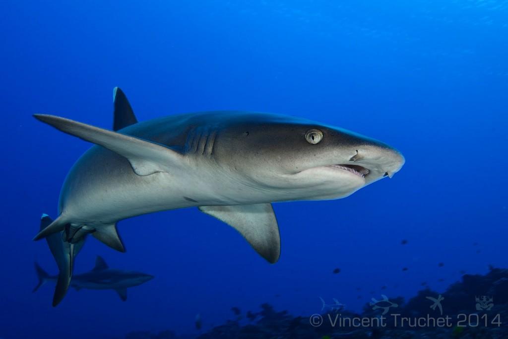 labananequiparle-vincent-truchet-requin-corail-proche