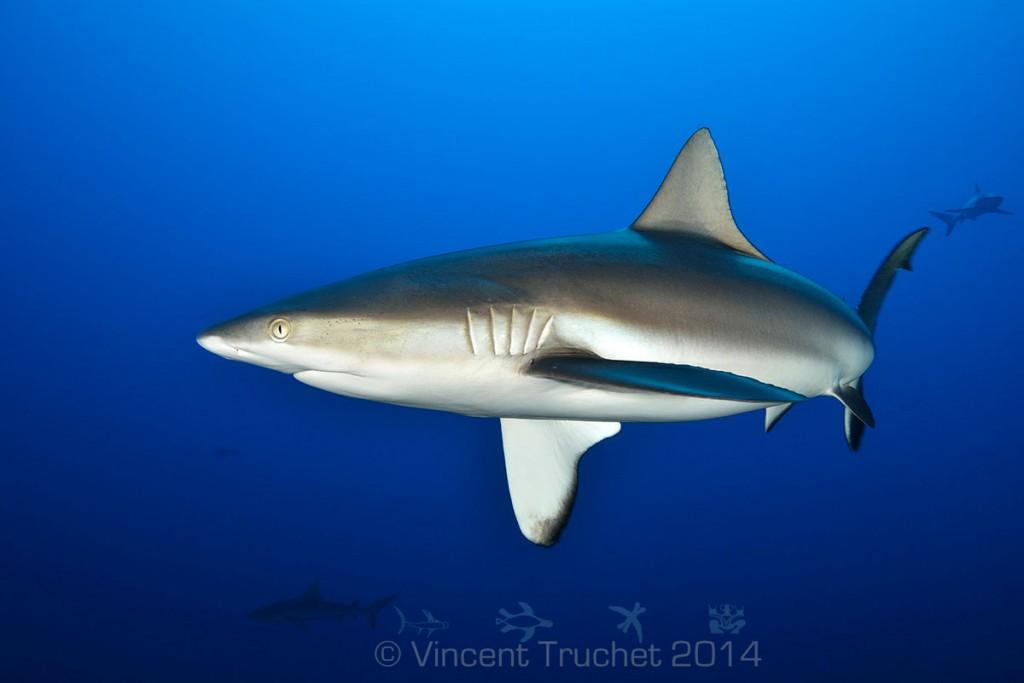 labananequiparle-vincent-truchet-requin-gris