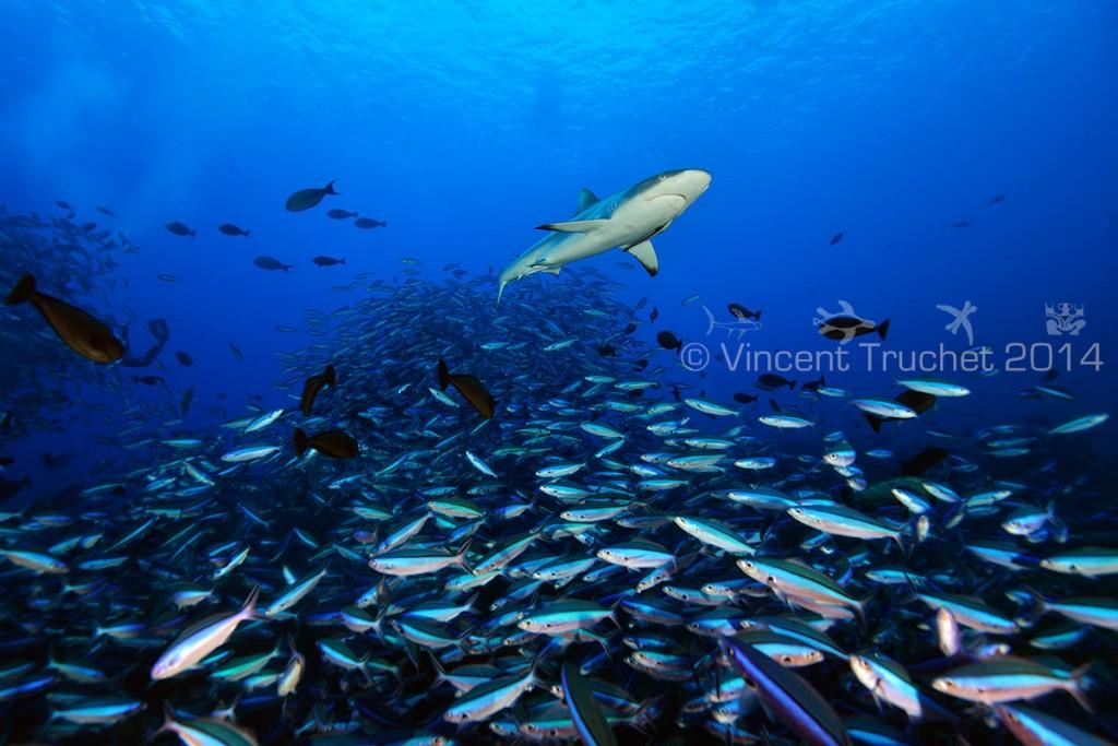labananequiparle-vincent-truchet-requin-gris-et-poissons