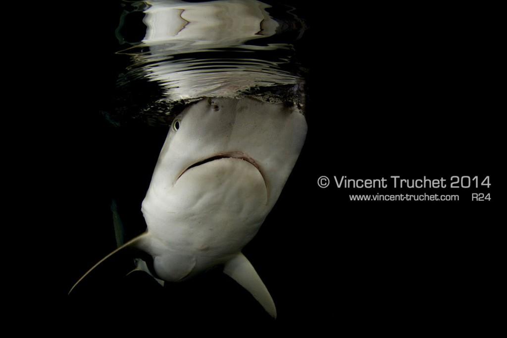 labananequiparle-vincent-truchet-requin-pointes-noires-face