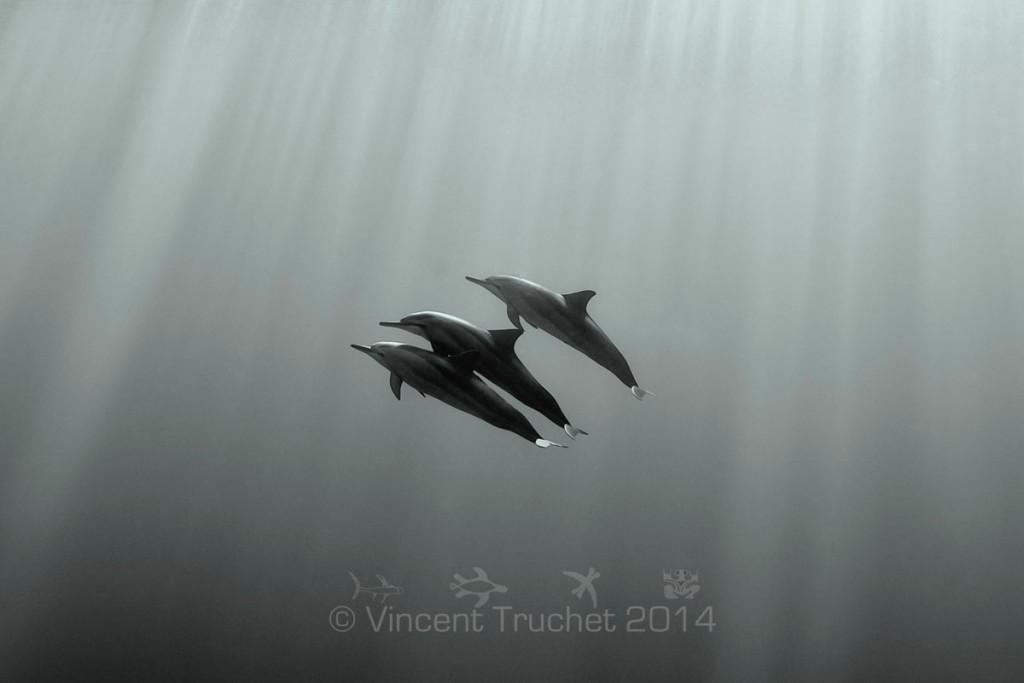 labananequiparle-vincent-truchet-trois-dauphins-a-long-bec