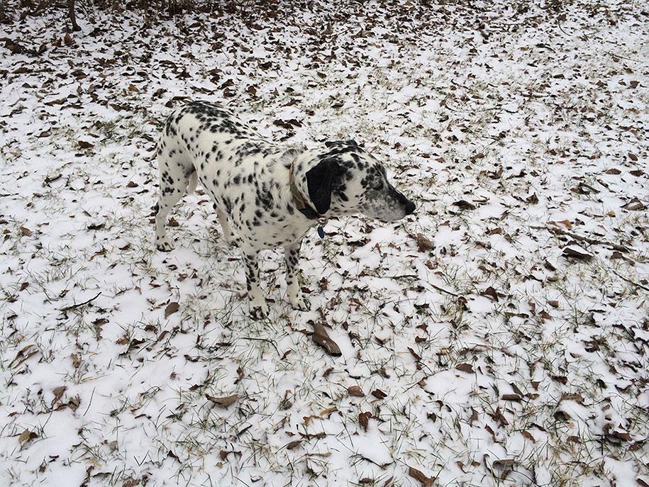 labananequiparle-chien-dalmatien-neige
