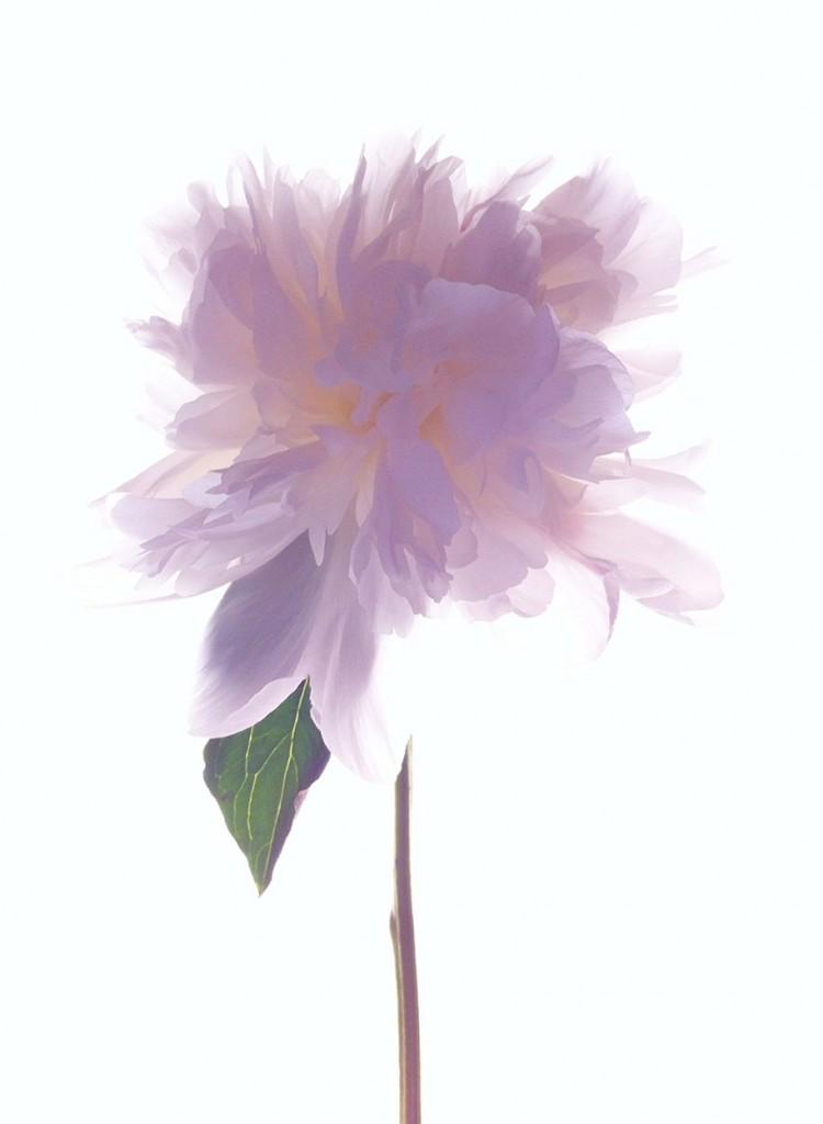 labananequiparle-fleur-rose