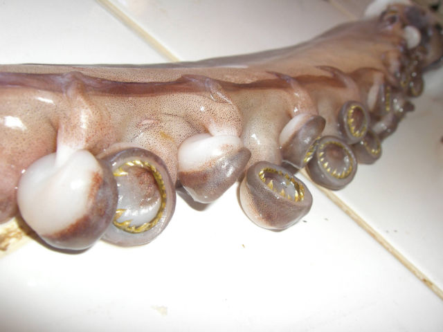 Octopus with teeth. Image source: imgur